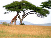 Giraffe under an acacia tree in the Serengetti national park