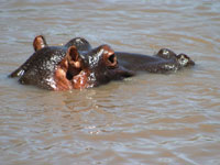 Hippo in Ngorongoro Crater