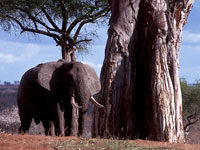 Elephants by a baobab tree in Tarangire National Park